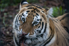 Tiger Taking Lunch. A Tiger in the Sofia Zoo is taking a long lunch royalty free stock photos