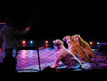 The tiger tamer Royalty Free Stock Photography