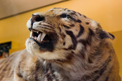 Tiger taxidermy. Royalty Free Stock Photo