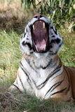 Tiger Teeth. Beautiful tiger with mouth wide open showing huge teeth stock photography