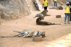Tiger Temple in Kanchanaburi, Thailand Stock Images