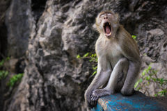 Tiger temple monkey. Tiger cave monkey yawning at the steps Royalty Free Stock Photos