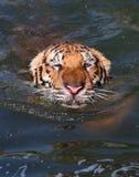 Tiger Thailand Arkivfoton