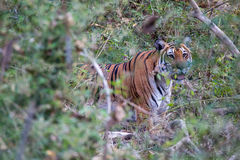 Tiger in thicket Royalty Free Stock Photos