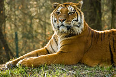 Tiger, Tiger ... Portrait of a powerful dangerous tiger cat royalty free stock images