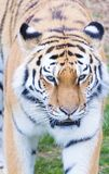 Tiger. Close up head shot image Royalty Free Stock Photos