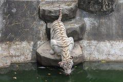 Tiger or tiger Laipadklan Royalty Free Stock Photography