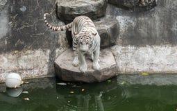 Tiger or tiger Laipadklan Stock Photography