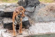 Tiger or tiger Laipadklan Royalty Free Stock Photo