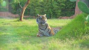 Tiger. Tiger resting in national park stock video