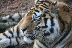 Tiger tiger Royalty Free Stock Photography