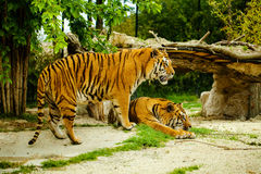 Tiger. S resting sitting in the grass Royalty Free Stock Photos