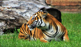 Tigress resting on green grassy field at zoo. Tiger tigress rests at the zoo Royalty Free Stock Images