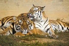 Tiger and tigress Stock Photos