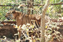 Tiger tigress standing near a steel net stock image