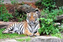 tiger tigris för pantherasumatra sumatraensis royaltyfria foton
