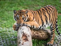 Close up Indochinese tiger. That tiger is on the timber, look straight at me, it so scary Royalty Free Stock Photography