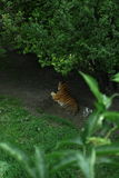 Tiger. Tired tiger waiting under tree Stock Photography