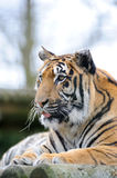 Tiger with tongue out. Looking alert Stock Images