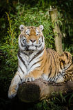 Tiger on Top of Brown Wood Tree Trunk Near Green Plant Royalty Free Stock Photo