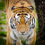 Tiger Beside Tree Royalty Free Stock Photography