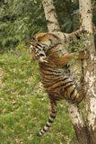 Tiger on a tree. The big, predaciouns, stripey cat tiger of Sumatra with meat in the zoological garden at Duisburg in Germany is jumping from a tree Stock Photography