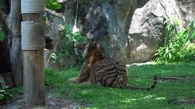 Tiger Turning Head adulto y mirada de mentira en el hábitat de la naturaleza almacen de metraje de vídeo