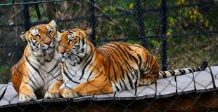 Tiger. Two loveable beautiful Tiger sit on stage Stock Images