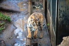 Tiger at Ueno zoo Tokyo Royalty Free Stock Photos