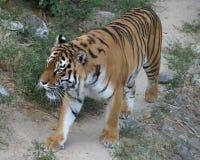 Tiger .Ukraina. Kiev. Tiger walking in Kiev zooparke.Ukraina royalty free stock photo