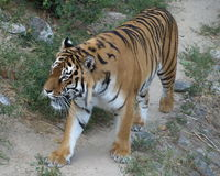 Tiger Ukraine kiew Lizenzfreies Stockfoto