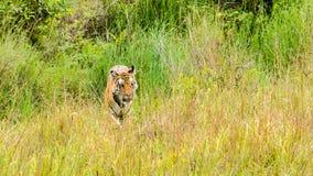 Tiger und Gras Lizenzfreie Stockbilder