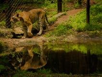 Tiger und Reflexion Lizenzfreies Stockfoto