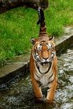 Tiger und sein Endstück lizenzfreie stockfotos