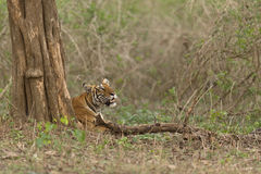 Tiger. A tiger under a tree Stock Images