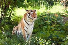 Tiger. Ussurian tiger. Sort : Panthera tigris altaica Royalty Free Stock Photography