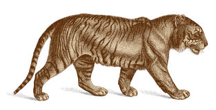 Tiger Vector Engraving vintage illustration Stock Images