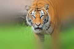 Tiger In Vignette Royalty Free Stock Image
