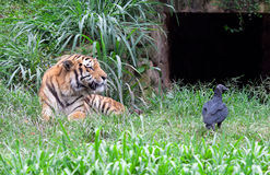 Tiger and vulture Royalty Free Stock Photos