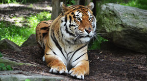 TIGER is waiting. Got this tiger at a zoo type place in Pittsburgh Royalty Free Stock Images
