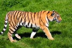 Tiger on a walk. Tiger with its britte orange color walking in the green soft grass Royalty Free Stock Photo