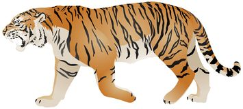 Tiger walk color vector illustration Royalty Free Stock Photography