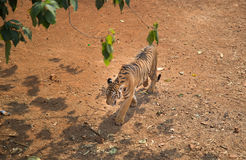 Tiger. Walk in the Forest stock photos