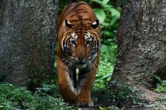 Tiger walk Royalty Free Stock Photography