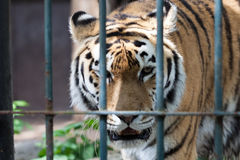 Tiger walk in zoo cage Stock Image