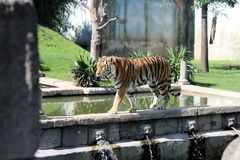 Tiger Walking Photo libre de droits
