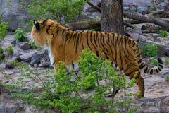 Tiger Walking Fotografia de Stock Royalty Free