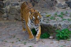 Tiger Walking Stock Afbeelding