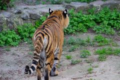 Tiger Walking images libres de droits