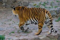 Tiger Walking immagine stock libera da diritti